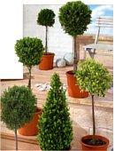 toskana st mmchen bei aldi s d wie buchsbaum zypresse und. Black Bedroom Furniture Sets. Home Design Ideas